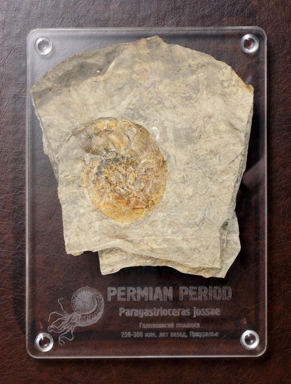 Головоногий моллюск (Paragastrioceral)