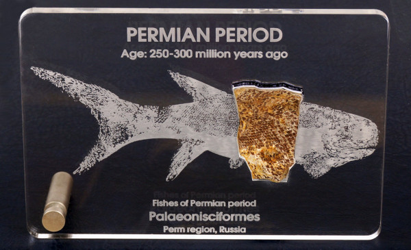 Фрагмент рыбы Palaeonisciformes