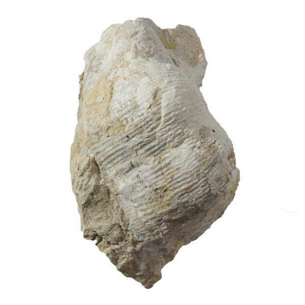 Окаменелый моллюск на фетре